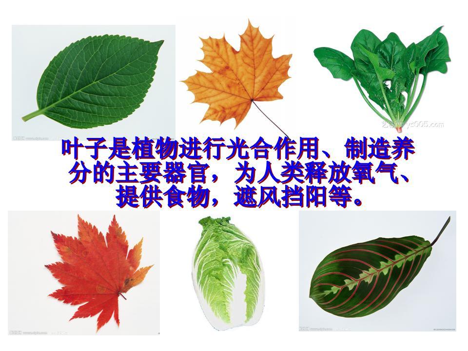 好看的叶子简笔画_各种树叶子的简笔画