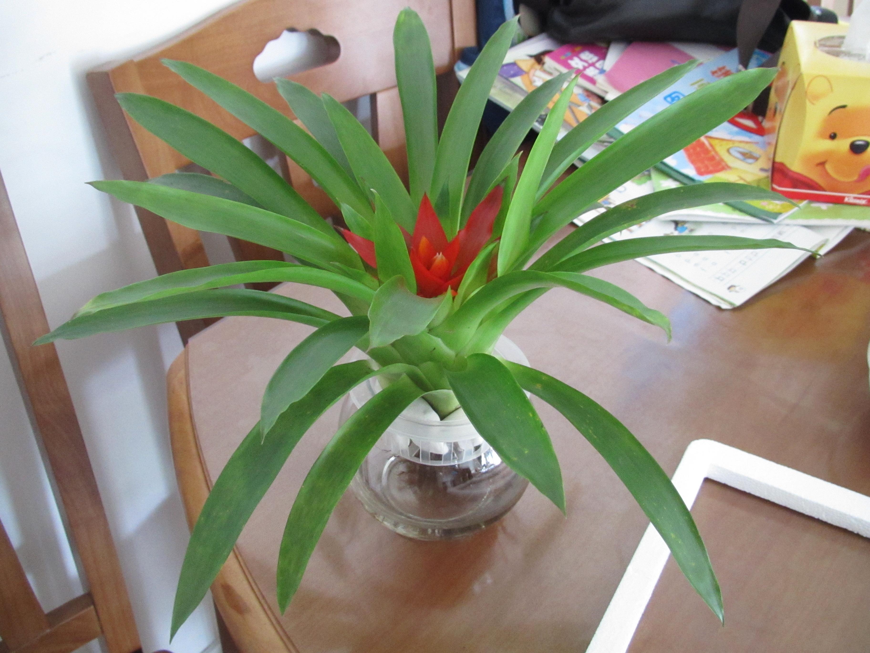 象征和平的植物